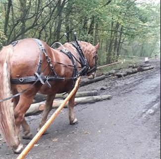 a suffolk punch horse helping with building the dams at Thorndon Country Park
